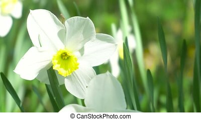 Flower Narcissus close-up in the garden. 4k