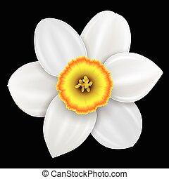Flower narcissus illustration