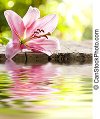 flower, natural lily with reflection in water