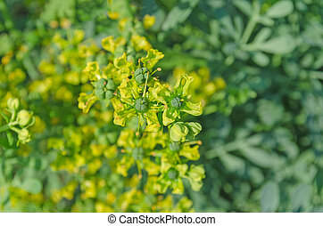 Flower of a common rue plant