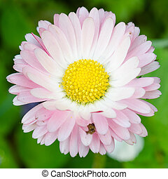 Flower of a daisy, close up
