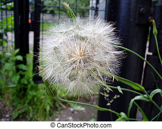 Flower of a dandelion