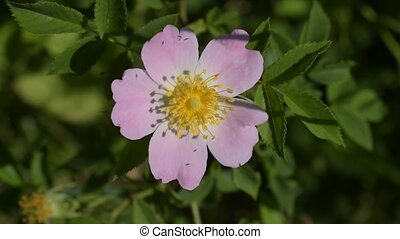 Flower of a dog rose stirred by wind on blurred background.