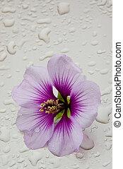 French Hollyhock (Malva sylvestris) - Flower of a French ...
