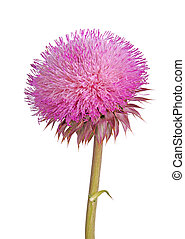 Flower of a musk thistle isolated on white - Single stem...