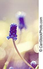 Flower of a muskari