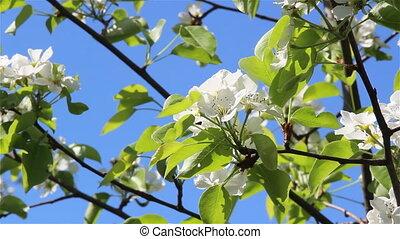 Flower of a pear tree - Pear tree flowers on light wind a...