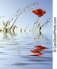 Flower of a poppy