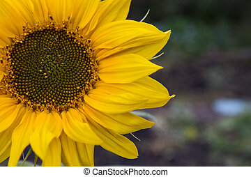 flower of a sunflower in the field
