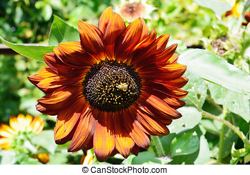 Flower of a sunflower in the sun.