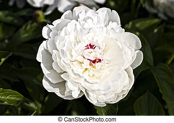 Flower of a white peony close up