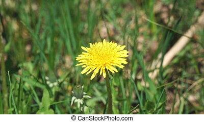 Flower of a yellow dandelion swings the wind - The flower of...