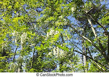 flower of acacia in a meadow in la spezia