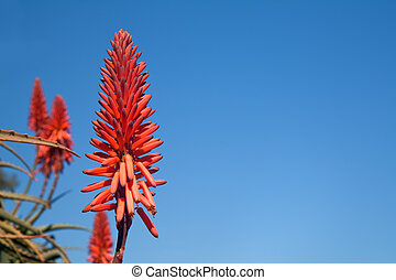 Flower of an aloe plant against a blue sky