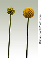 The photograph of the isolated flower of Billy buttons, Craspedia globosa, in various stages of maturity.