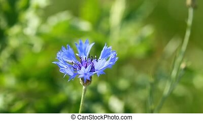 Flower of blue cornflower
