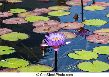 Flower of blue Egyptian lotus in a pond