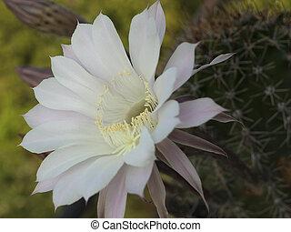 flower of cactus closeup