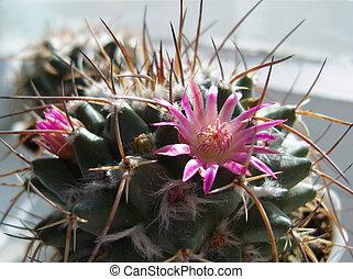 Flower of cactus.