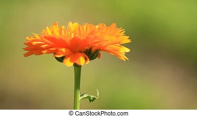 Flower of calendula herb plant in blossom