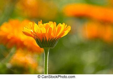 Flower of calendula on blossom