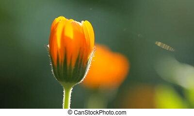 Flower of calendula and sun