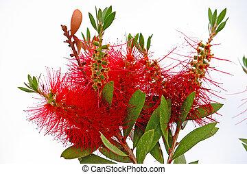 Flower of callistemon - Red bottlebrush flower (callistemon...