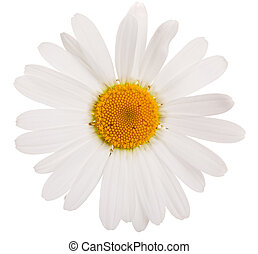 Flower of camomile isolated on white background, close-up.