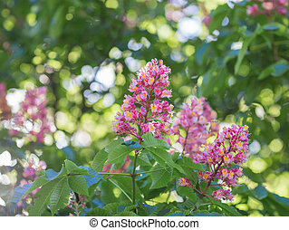 Bach flower remedies of red and white chestnut bach flower remedies flower of chestnut tree mightylinksfo