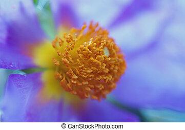 flower of Cistus - especially cistus flower - picture taken...