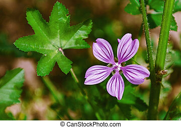 Flower of Common Mallow