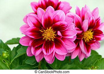 Flower of dahlia