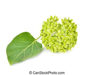 flower of dregea volubilis Stapf (APOCYNACEAE)