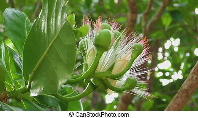 Flower of Fish poison tree