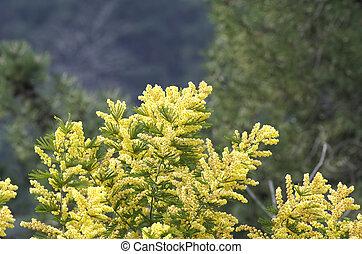 flower of ginestra