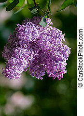 flower of lilac on a green background