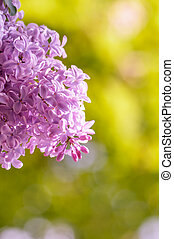 flower of lilac on a yellow background