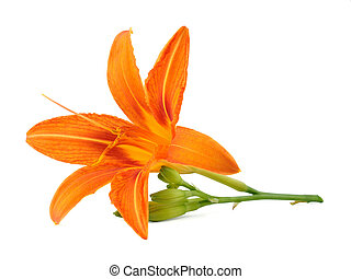 Flower of lily isolated on white background