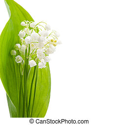 Flower of lily of the valley on a background of green leaves...
