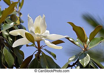 Flower of Magnolia grandiflora