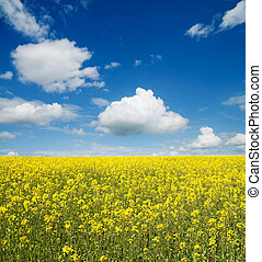 flower of oil rape in field with blue sky and clouds