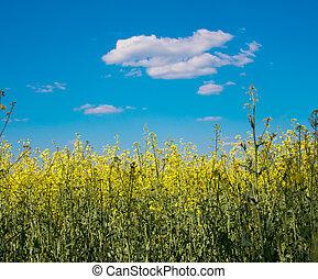 flower of oil rapeseed in field