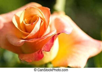 flower of orange rose macro
