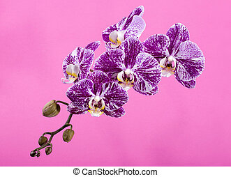 Flower of orchid phalaenopsis close-up on a pink background