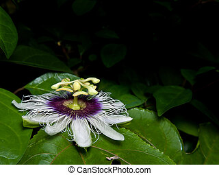 Flower of Passiflora edulis blooming with foliage