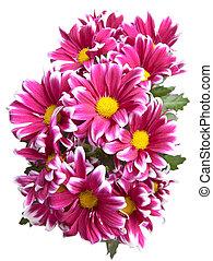 Flower of pink chrysanthemum
