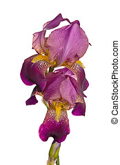 Flower of pink iris isolated on a white background