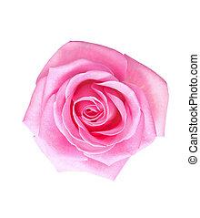 flower of pink rose