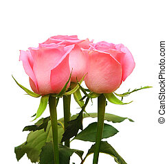 flower of pink roses on white background