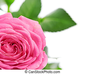 flower of pink roses on white